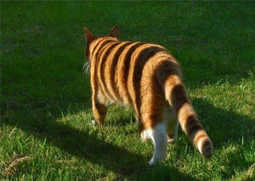 Até parece um tigre